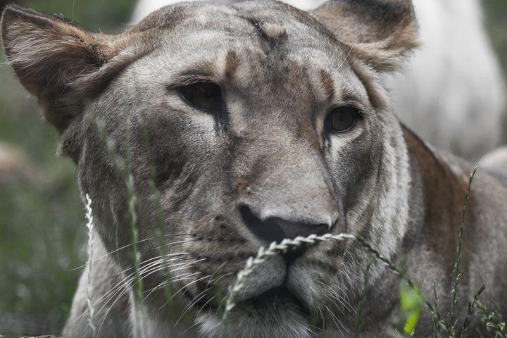 lioness -  Richard.ernst49