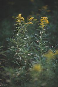 Romantics of the Meadow