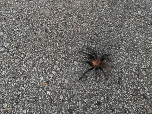 Tarantula during mating season