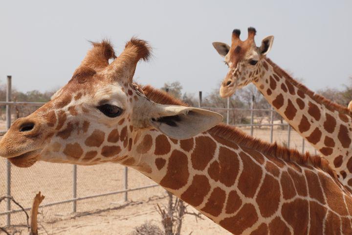 Bipolar Giraffes - Saadi Autonomous Art