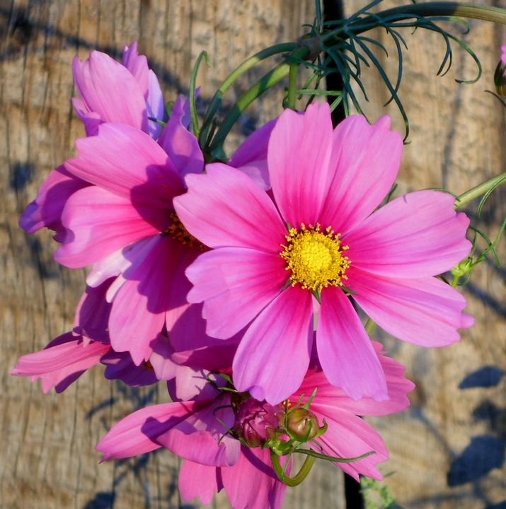 Pink Cosmos - Blue Blue Sky Creations
