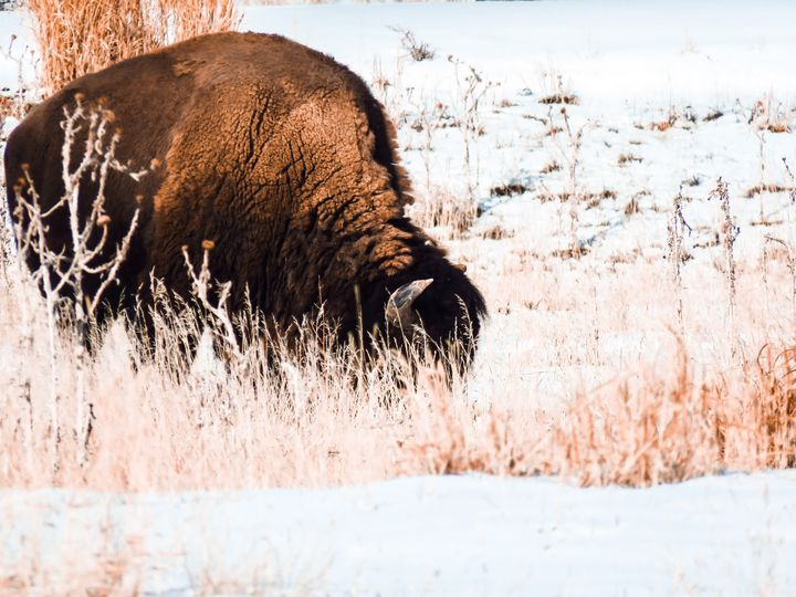 Bison Moment - Chad Vidas Outdoors
