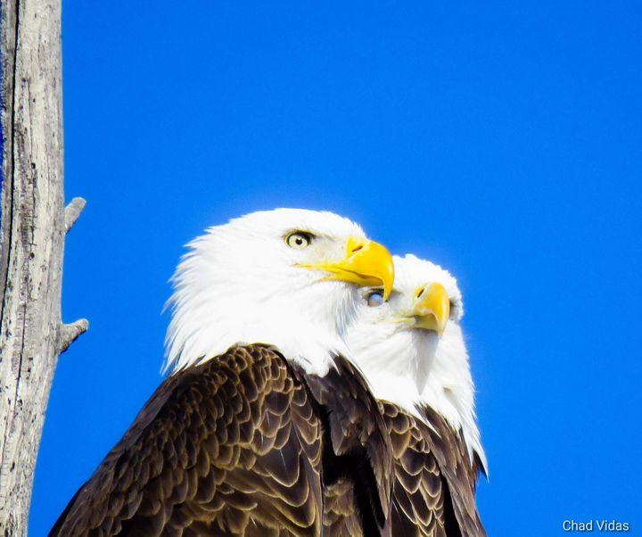 American Bald Eagle - Chad Vidas Outdoors