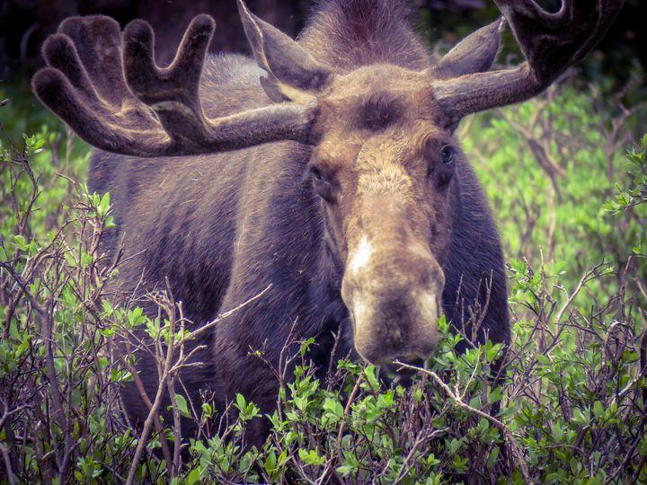 Moose in around - Chad Vidas Outdoors