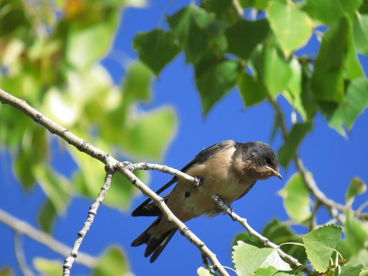 Swallow - Chad Vidas Outdoors
