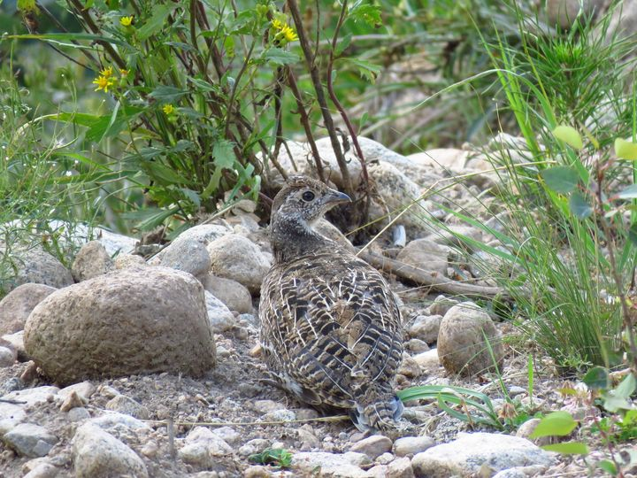 Baby Grouse - Chad Vidas Outdoors