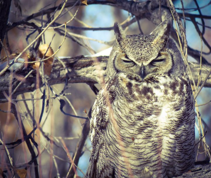 Owls - Chad Vidas Outdoors