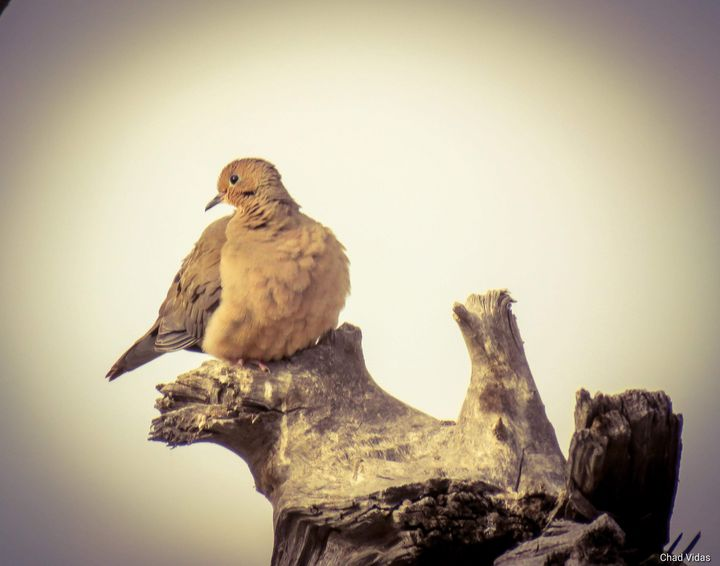 Dove - Chad Vidas Outdoors