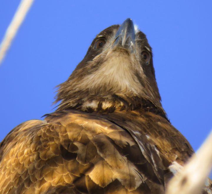 Eagle's Dare - Chad Vidas Outdoors