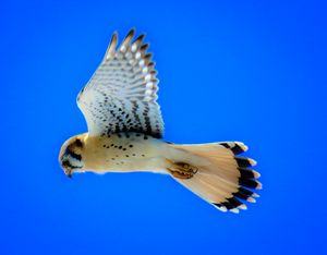 Kestrel And Blue Sky - Chad Vidas Outdoors