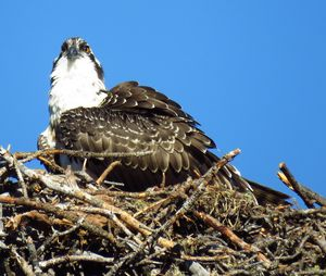 Osprey Of Colorado - Chad Vidas Outdoors