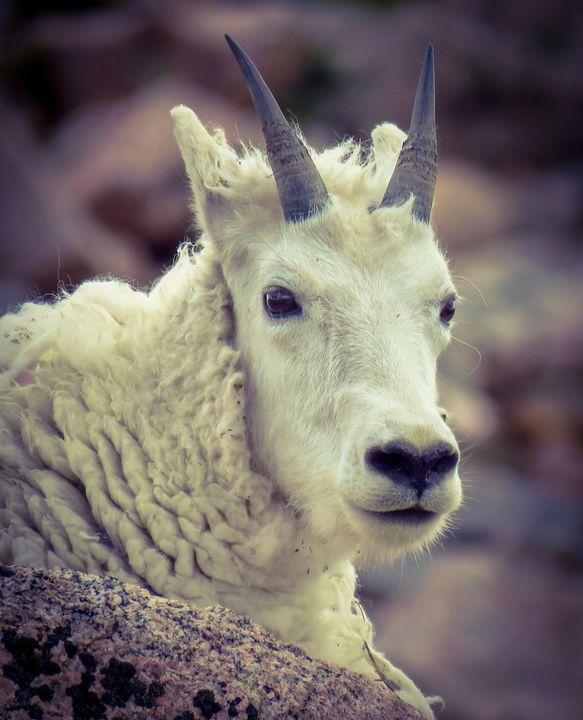 Mountain Goat - Chad Vidas Outdoors