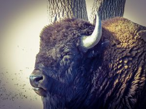 Colorado Bison - Chad Vidas Outdoors