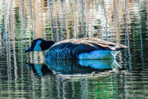Colorado Canadian Goose - Chad Vidas Outdoors