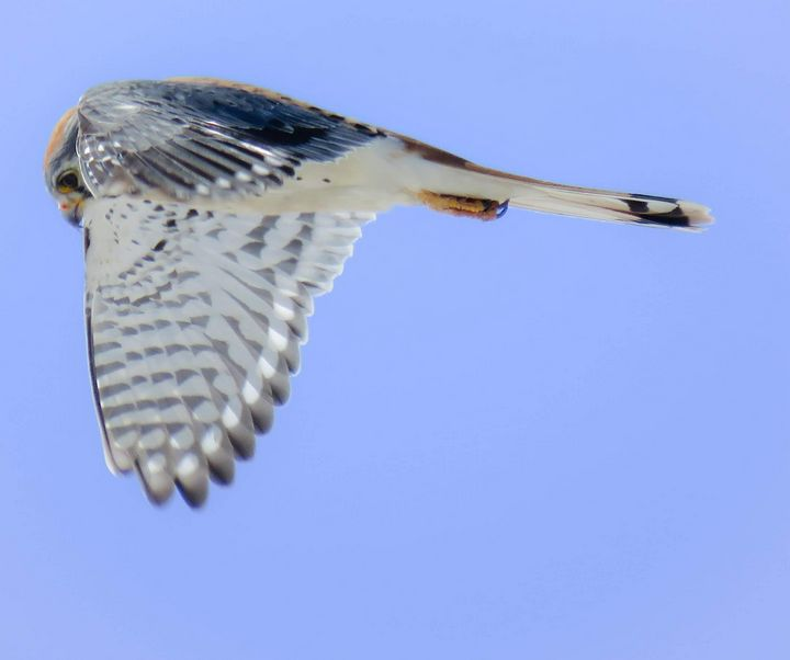 Kestrel Hunting - Chad Vidas Outdoors
