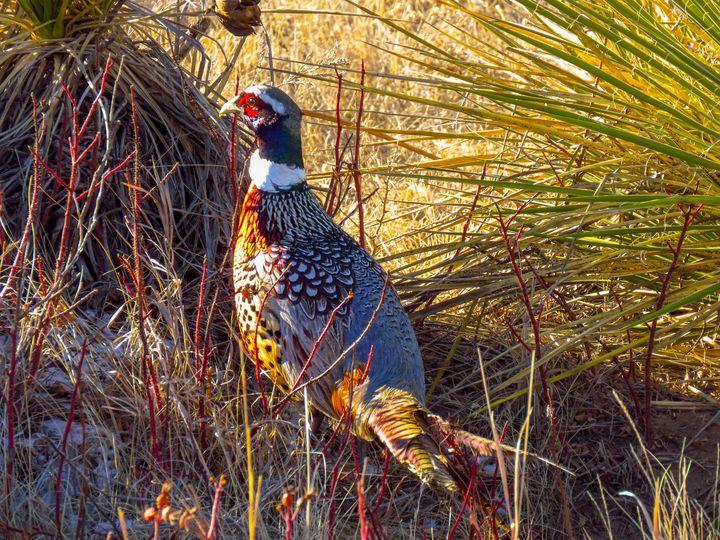 Pheasant - Chad Vidas Outdoors