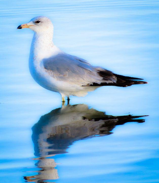 Beautiful Gull - Chad Vidas Outdoors