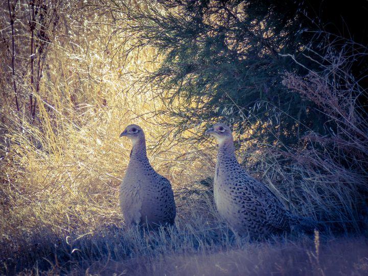 Hens - Chad Vidas Outdoors