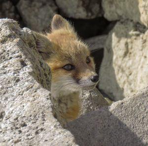 Foxing Around Colorado - Chad Vidas Outdoors