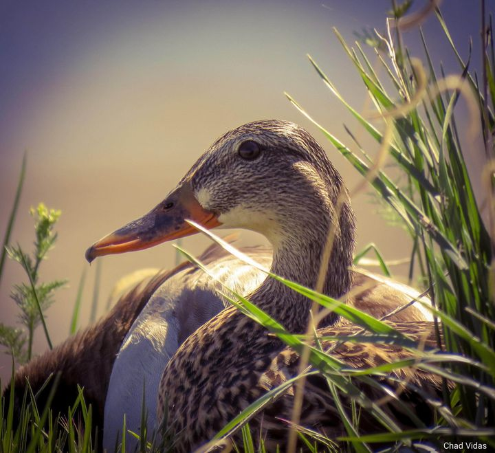 Duck - Chad Vidas Outdoors