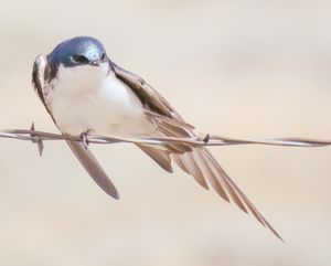 Beautiful Swallow - Chad Vidas Outdoors