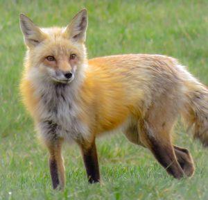 Aurora Fox - Chad Vidas Outdoors