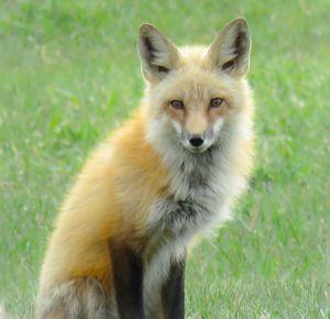 Colorado Fox - Chad Vidas Outdoors