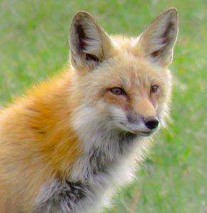 Foxing Around - Chad Vidas Outdoors