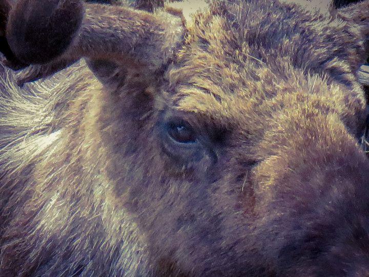 Moose Eye - Chad Vidas Outdoors
