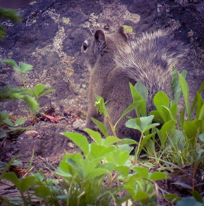 Pine Squirrel - Chad Vidas Outdoors