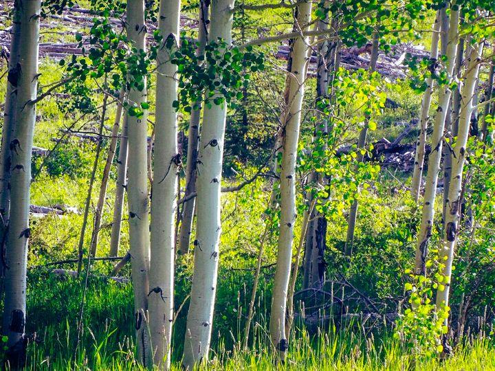 Colorado Aspen's - Chad Vidas Outdoors