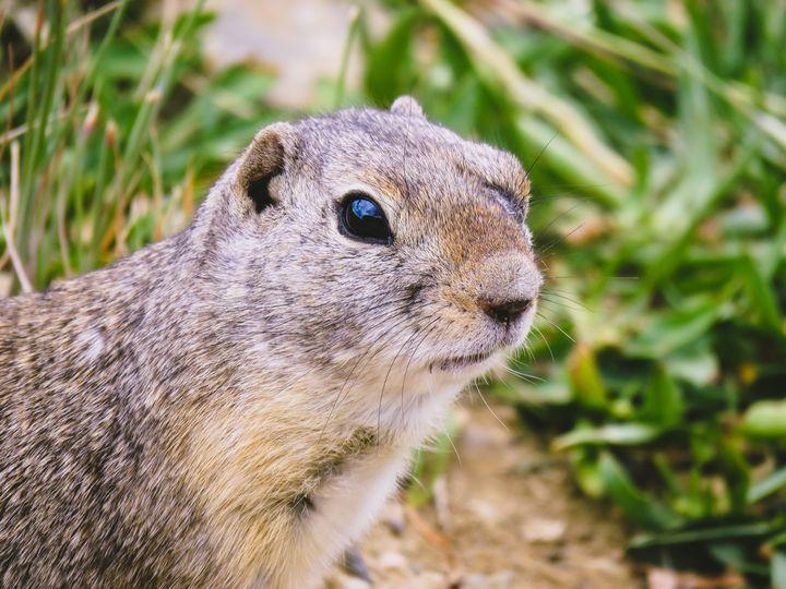 Ground Squirrel - Chad Vidas Outdoors