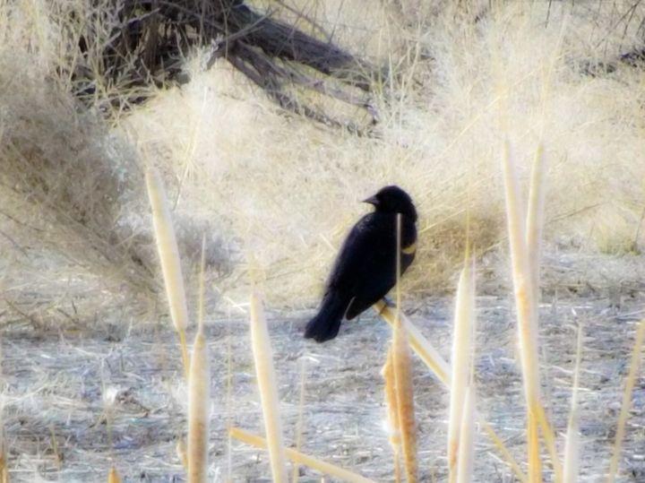Blackbird - Chad Vidas Outdoors