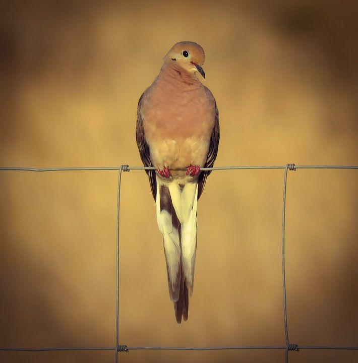 A Morning Dove - Chad Vidas Outdoors