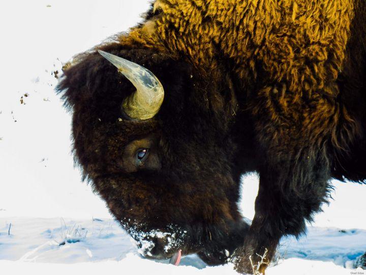 Winter Bison - Chad Vidas Outdoors
