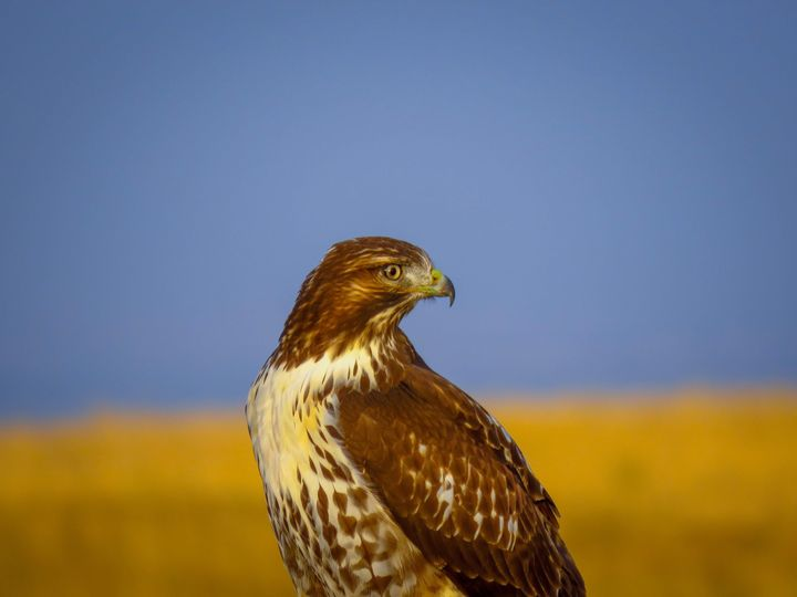 Hawk of the Plains - Chad Vidas Outdoors