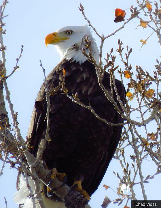 Bald Eagle - Chad Vidas Outdoors