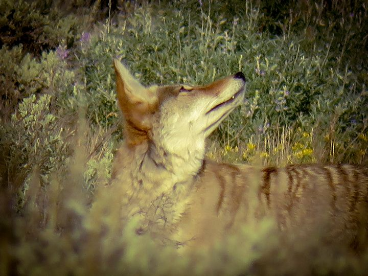 Colorful Coyote - Chad Vidas Outdoors