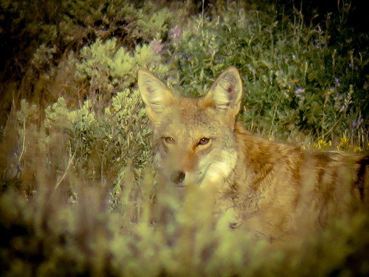 Wiley Coyote - Chad Vidas Outdoors