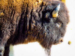 American Buffalo - Chad Vidas Outdoors