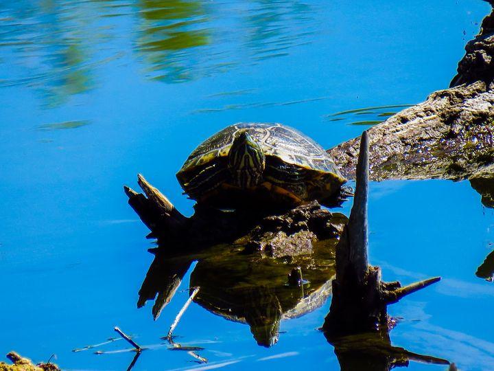 Colorado Turtle - Chad Vidas Outdoors