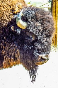 The biggest Bull - Chad Vidas Outdoors