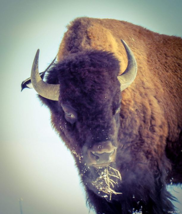 Birds and Bison - Chad Vidas Outdoors