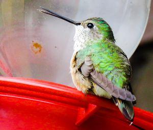 Hummingbird - Chad Vidas Outdoors