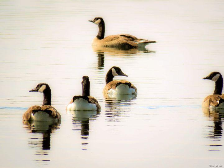 Goose in Around - Chad Vidas Outdoors