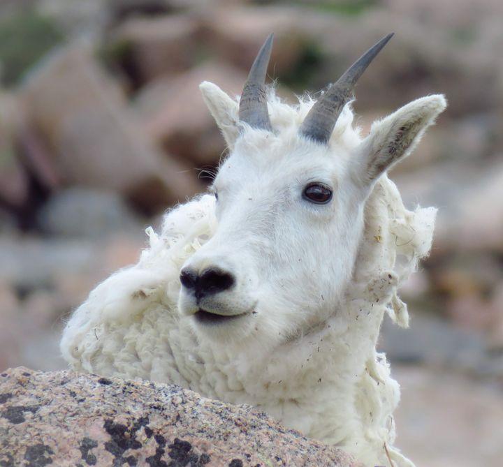 Baby Goat - Chad Vidas Outdoors