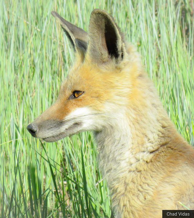 The Fox - Chad Vidas Outdoors