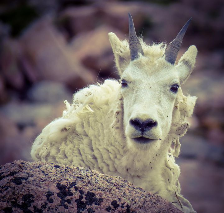 Big horn..no I am Goat - Chad Vidas Outdoors