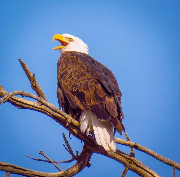 Call Of An Eagle - Chad Vidas Outdoors