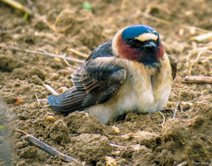 Baby Bird - Chad Vidas Outdoors